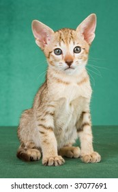 Chocolate spotted lynx Oriental kitten on green background