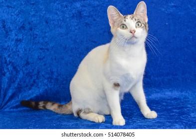 Chocolate tabby and white cat