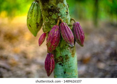 Chocolate tree ( Theobroma cacao ) with fruits bokeh background