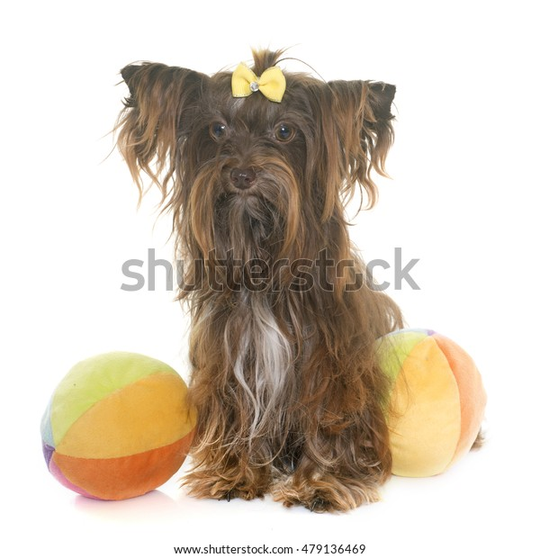 chocolate yorkshire terrier in front of white background