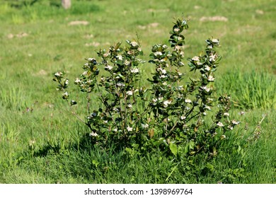 Chokeberries or Aronia shrub plant with small white flowers growing in local garden surrounded with uncut grass on warm sunny spring day