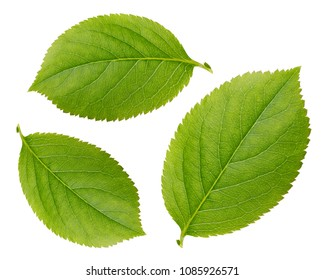 Chokeberry leaves isolated on white background