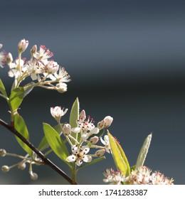 A chokeberry shrub (Aronia arbutifolia) is bursting in bloom in spring May 2020.