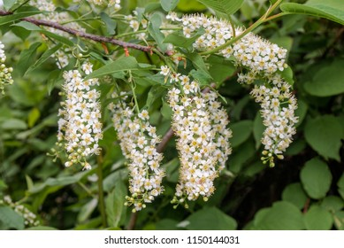Chokecherry (Prunus virginiana) in park, Central Russia,