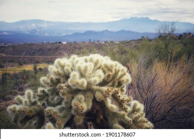 Cholla Cactus with Desert Landscape in Arizona Sonoran Desert with Natural Daylight