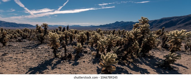 Cholla cactus garden in Joshua Tree National Park, California
