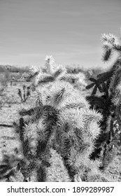 Cholla Cactus with Natural Daylight at dry Arizona Desert Landscape in Arizona