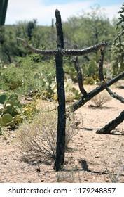 Cholla cactus shaped like cross