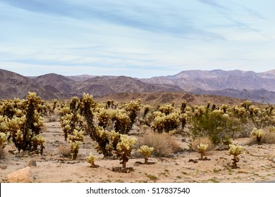 Cholla Cactuses In The Joshua Park
