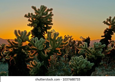 Cholla Plant at sunrise at Joshua Tree