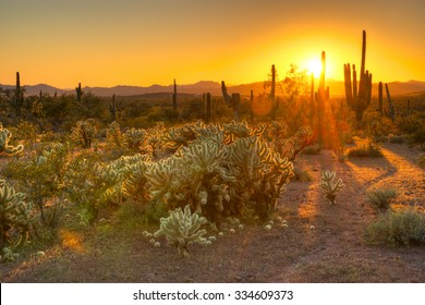 Cholla and Saguaros catching day's last rays.
