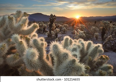 Chollas Cactus Sunrise Joshua Tree National Park, California