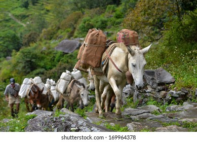 CHOMRONG - OCT 6: A shepherd with a caravan of donkeys carrying heavy supplies, food and equipment in the Annapurna Base Camp, Himalaya mountains. On Oct 6, 2013 in Chomrong, Nepal