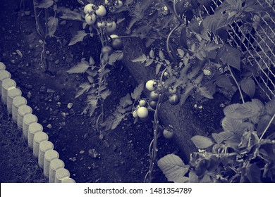 Chomutov, Czech republic - August 17, 2019: tomatoes on little garden at sommer afternoon