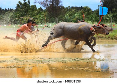 CHONBURI, THAILAND - August 04: Buffaloes racing on Aug 04, 2013 in Chonburi, Thailand.The event is normally held before the rice planting season and marks the importance of buffaloes.