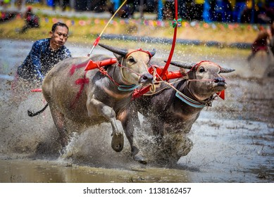 CHONBURI, THAILAND - Buffaloes racing on July 15, 2018 in Chonburi, Thailand.The event is farmer traditional with race before the rice planting season.