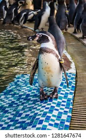 Chonburi, Thailand- December 1, 2018: Swarm of penguins (Spheniscus humboldti) standing near by the pond after show at the zoo