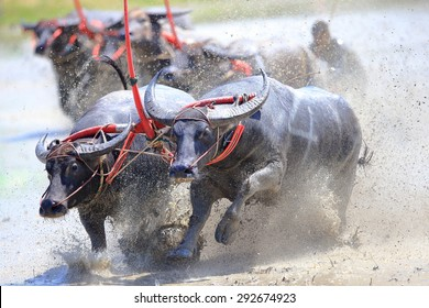 CHONBURI THAILAND - JUNE 28 : Status of traditional buffalo race, which is held annually at Chonburi, Thailand. on Jun 28, 2015. Traditionally held by farmers to conserve water buffalos in Thailand.