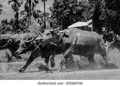 CHONBURI, THAILAND, JUNE 28 - Traditional buffalo racing on June 28, 2015 in Chonburi Province, Thailand. Black and white.