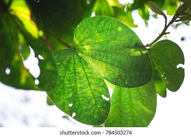 Chongkho leaves,Lung sign