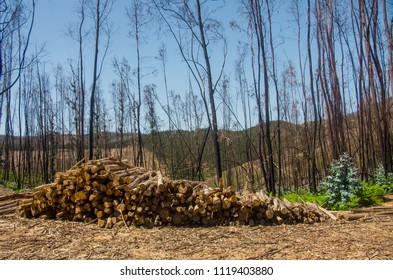 Chooped tree trunks in a pile after severe forest fires in Portugal