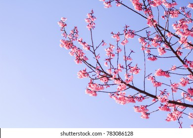 Choose soft focus, beautiful cherry blossom, Prunus cerasoides in Thailand, bright pink flowers of Sakura on the high mountains of Chiang Mai. Spring background and beautiful natural scenery.