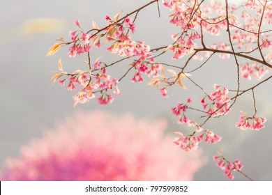 Choose soft focus, beautiful cherry blossom and Prunus cerasoides in Japan. Bright pink flowers of Sakura on high mountains and sakura himalaya background with beautiful natural scenery.