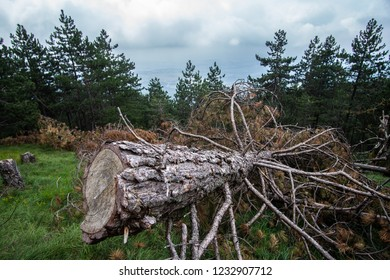 Chopped tree in a forest prepared for firewood logs