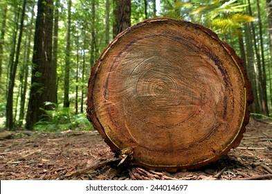 Chopped tree log lies on the ground in Redwoods Whakarewarewa Forest in Rotorua, New Zealand.