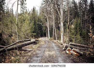 Chopped trees in  European forest, Forest walking through storm, Forest of coniferous trees with grabbed trees