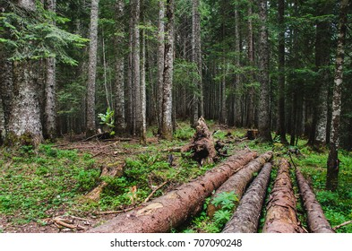 Chopped trees in the forest