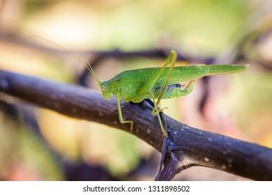 Chorthippus albomarginatus, Omocestus viridulus, Green Grasshopper, mimicry, Locusta migratoria