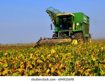 "Chortkiv - Ternopil - Ukraine - October 5, 2011. Self-propelled harvester harvesting sugar beets on the field of ""Parostok"" agricultural company in Ukraine"