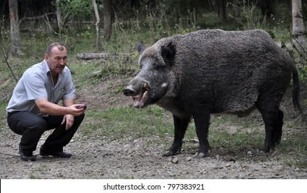 Chortkiv - Ternopil - Ukraine - September 12, 2017. The main forester Bilivskogo forestry in the forest apples feeds wild boar