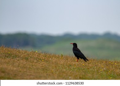 Chough Portrait (Pyrrhocorax pyrrhocorax) on Pembrokshire coastline, Wales, UK