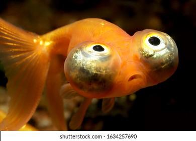 "The Choutengan ""Celestial Eye"" (Carassius auratus) Goldfish with crazy eyes"