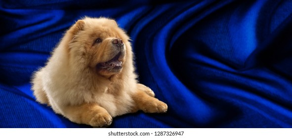 The Chow Chow is a breed of dog, originally from northern China, where it is called Sunshi Quan (Pinyin: sōngshī quǎn 鬆獅 犬), which means a plump lion dog.