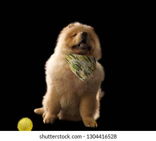 The Chow Chow is a breed of dog, originally from northern China, where it is called Sunshi Quan which means a plump lion dog.