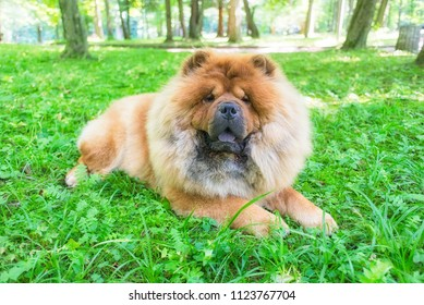 Chow chow cute red dog chinese breed