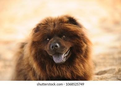 Chow Chow dog outdoor portrait against sand