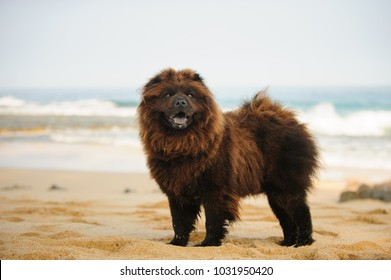 Chow Chow dog outdoor portrait standing on beach
