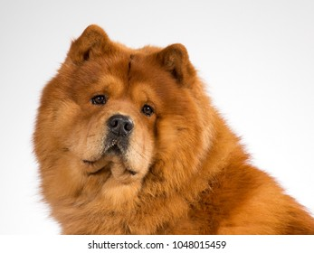Chow Chow dog portrait. Image taken in a studio with white background.
