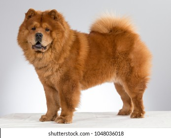 Chow Chow dog portrait in a studio. The dog is standing against white background.