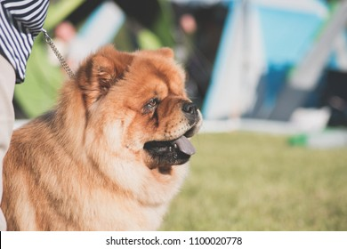 Chow chow dog in the show. Portrait of purebred chow chow.