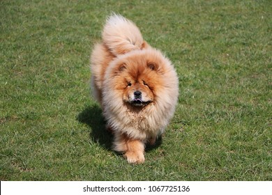 chow chow dog is walking in the park