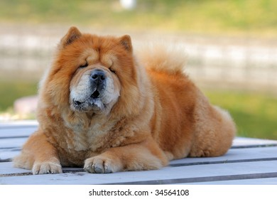a chow chow look at me