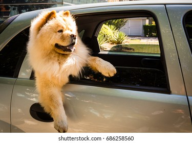 Chow Chow out of the car window watching the movement.