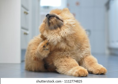 Chow chow puppy scratching fleas. Puppy scratching fleas in the house