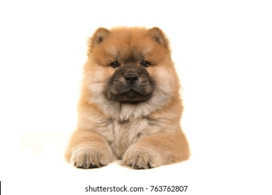 Chow chow puppy seen from the front lying down looking at the camera isolated on a white background