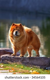 a chow chow stand on stone